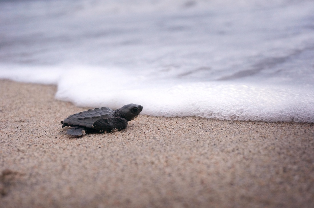 Holden Beach Turtle