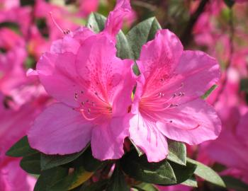 pink azaleas north carolina