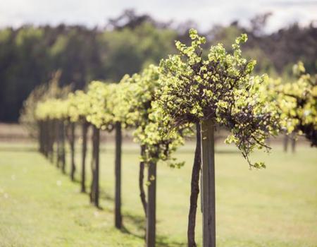 Silver Coast Winery Vineyards