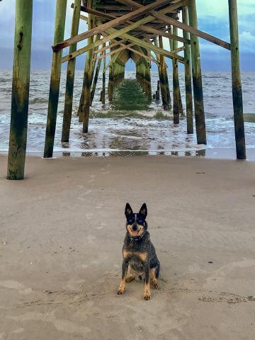 Puppy by the pier on Holden Beach