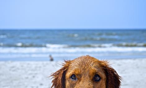 Golden Retriever Dog on Beach in North Carolina