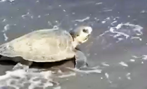 Biggest Challenges for Turtles on Holden Beach