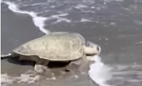 Turtle reaches the Atlantic!