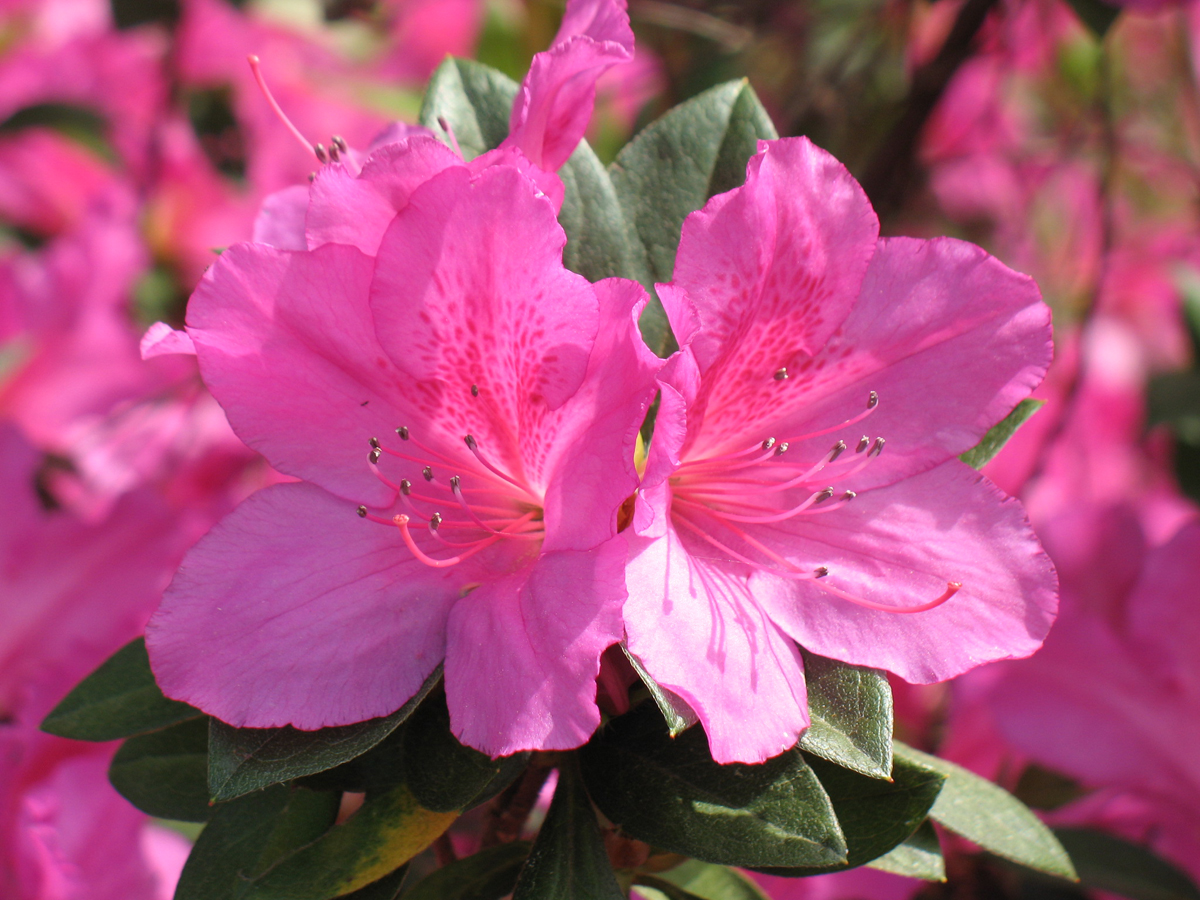 azaleas north carolina