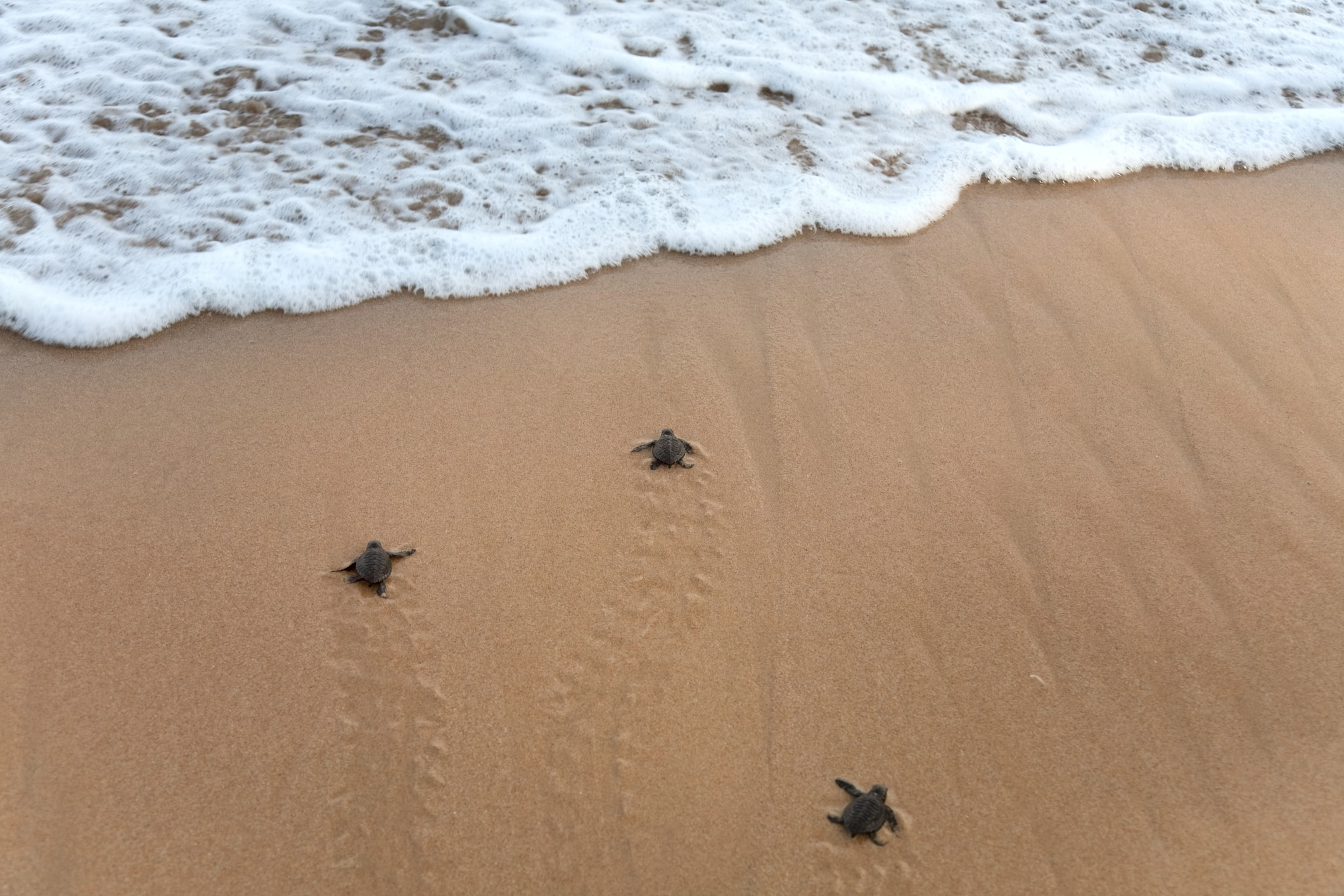 baby loggerhead sea turtles going to the ocean