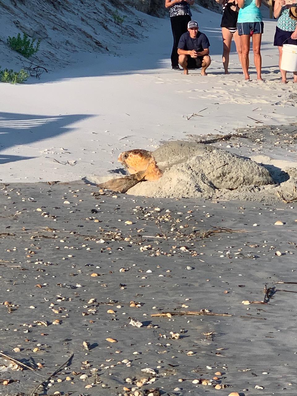 loggerhead turtle nesting holden beach
