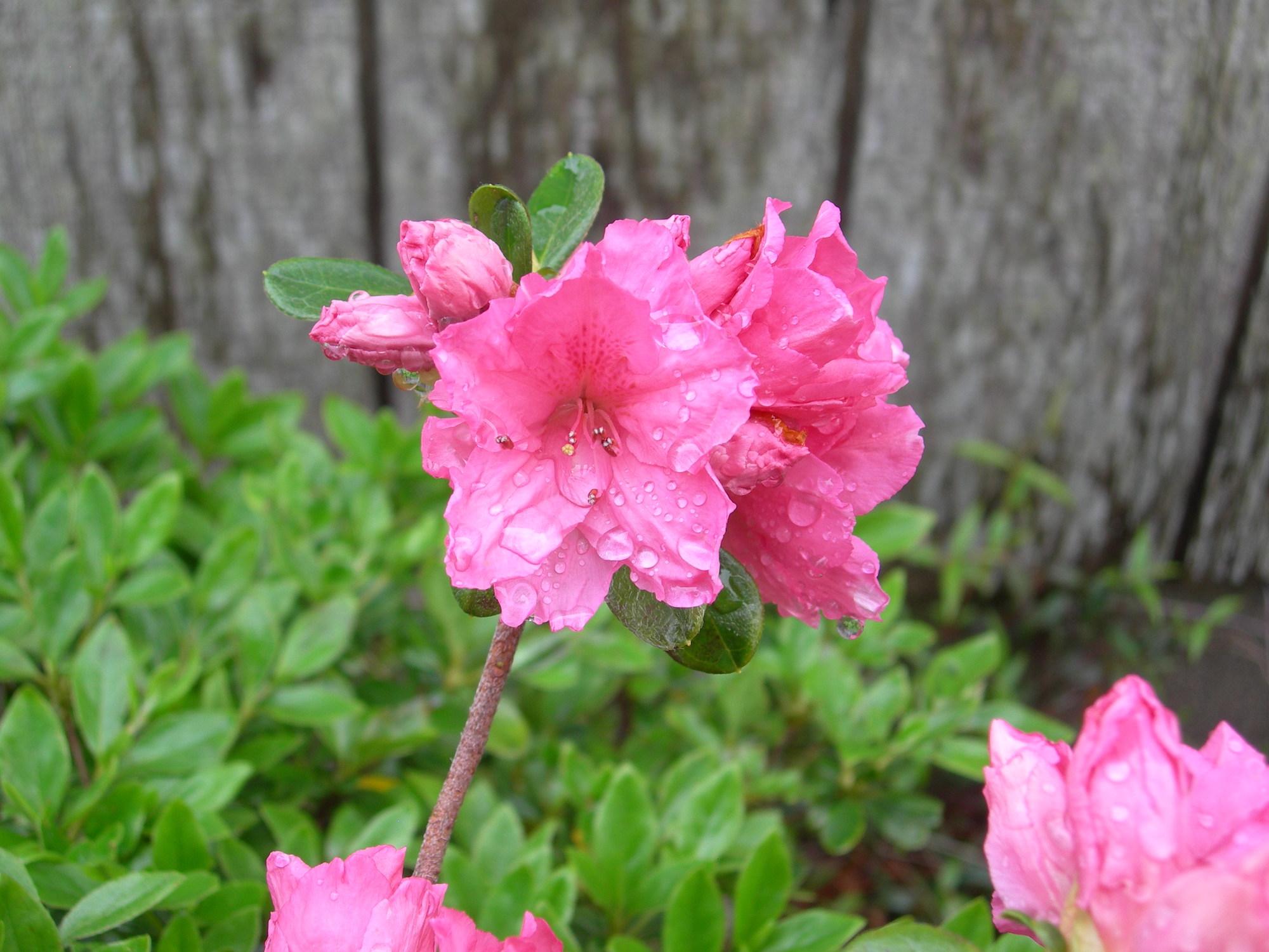 pink azaleas coastal north carolina