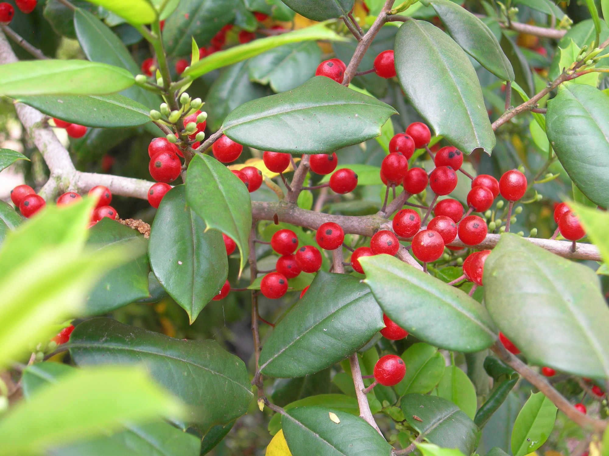 yaupon holly north carolina